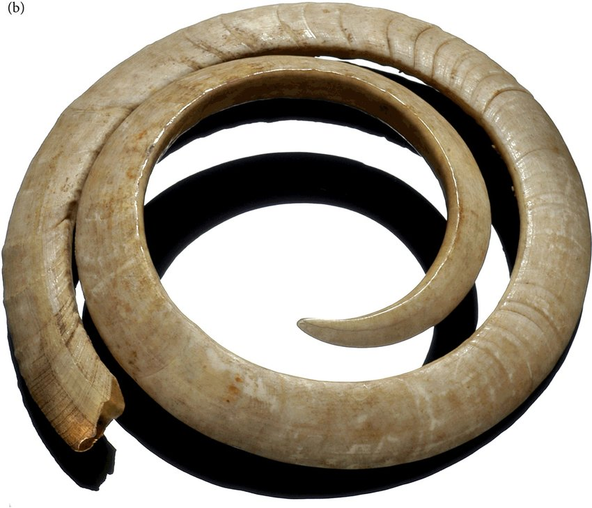Image of two-circle pig tusks found on an archeological dig in Vanatu, in the South Pacific.