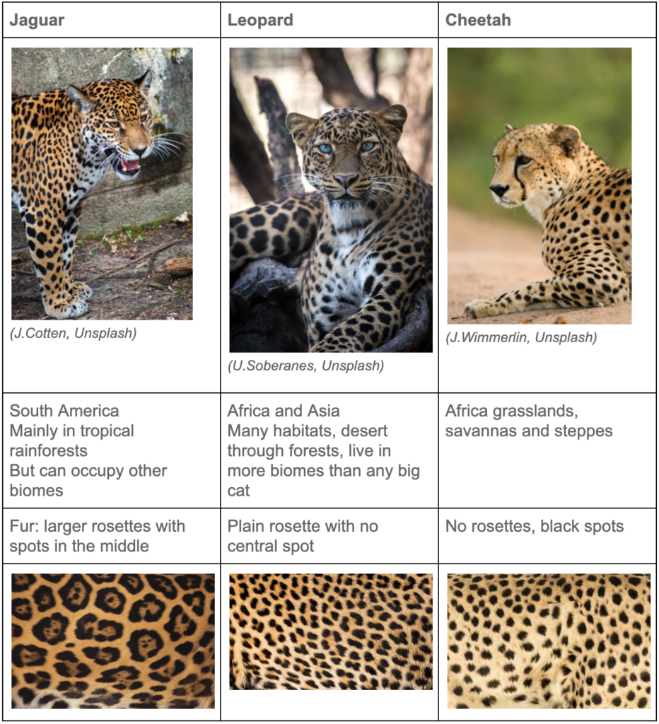 Table that compares and contrasts the images, ranges, and spot patterns of jaguars, leopards and cheetahs.