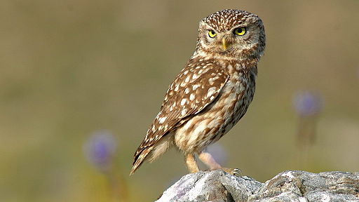 Little owl is the species believed to be Athena's symbol.