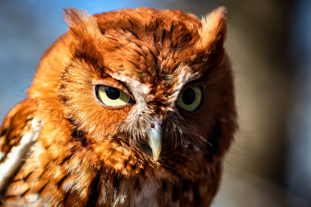 Close up of screech owl face showing feather tufts which were thought to be horns and part of why they were feared as witches.