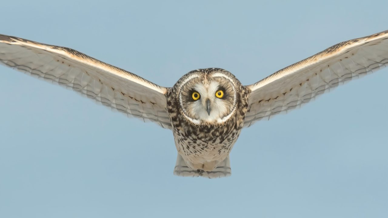 Owl flying and looking at camera