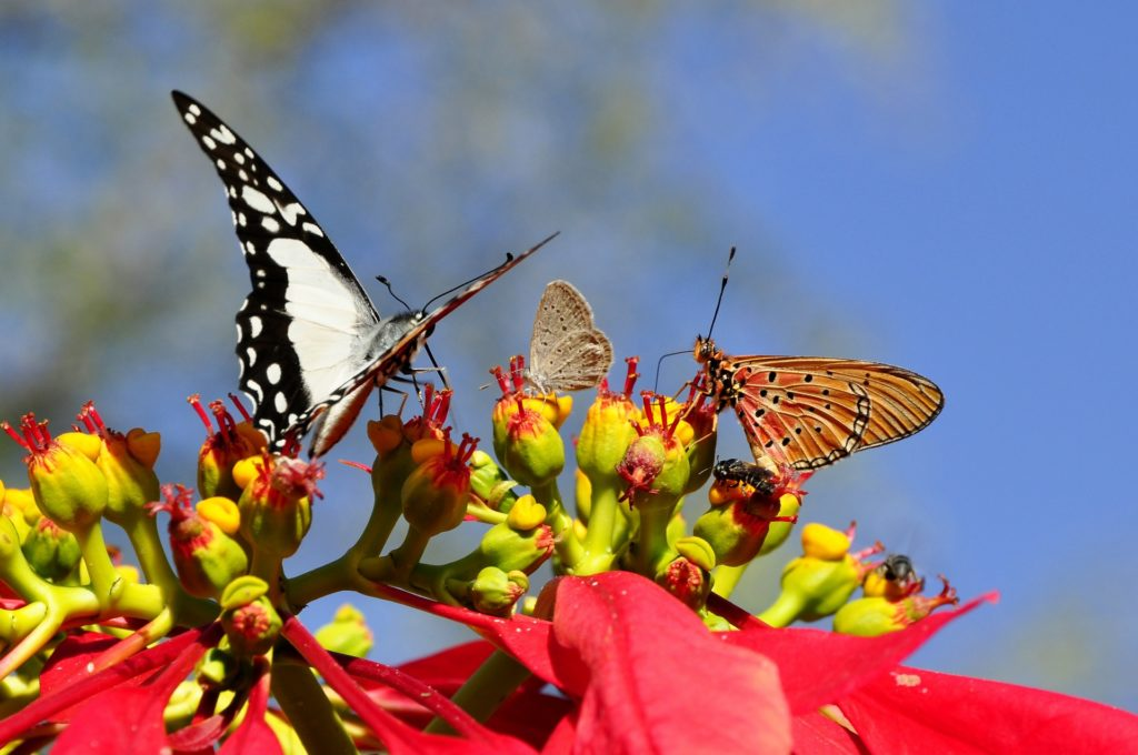 Butterflies pollinating yellow flowers on poinsettias.