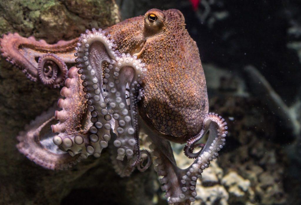 Curiosity octopus