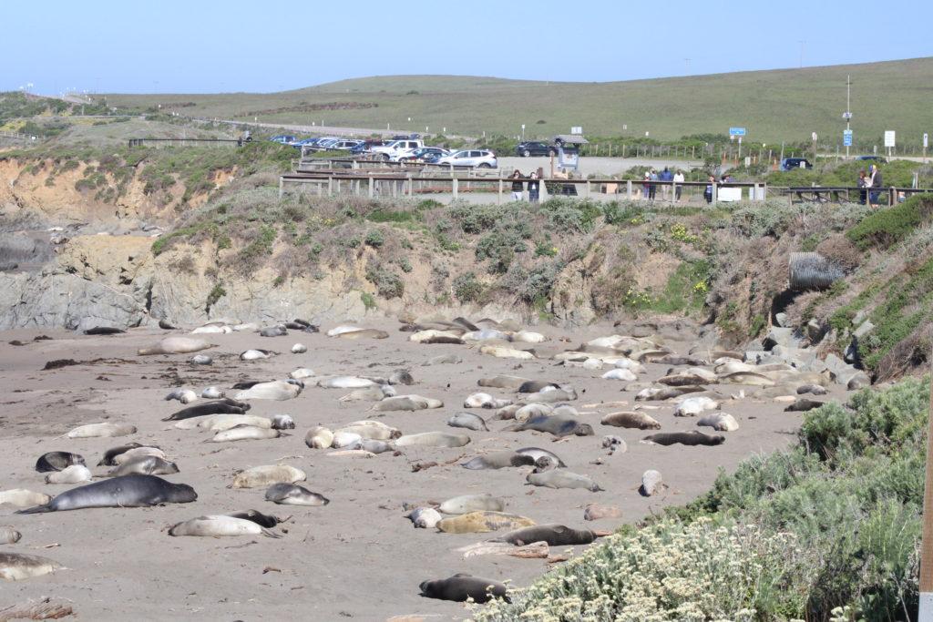 Elephant Seals lie on beach.