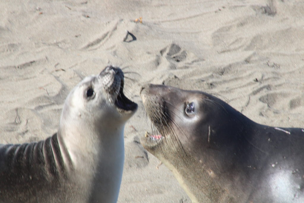 Young male and female elephant seals bark at each other
