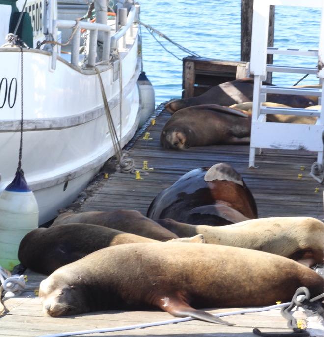 Sea lions lie on dock.