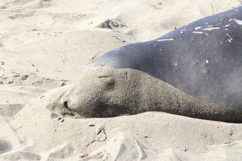 Juvenile male elephant seals don't have large proboscis until puberty