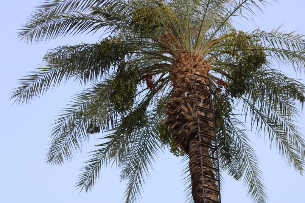 Ladder attached to side of date palm