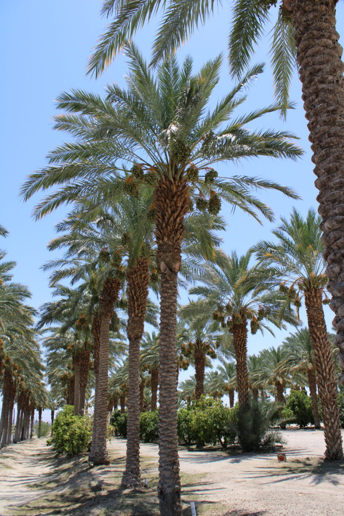 Rows of Date Palms